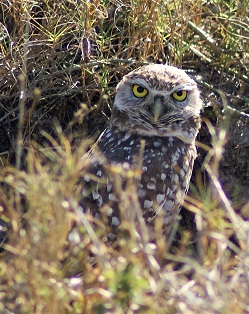 Picture showing a burrowing owl