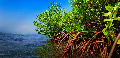 Picture showing Mangroves at a shore line